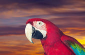 Head of red macaw parrot — Stock Photo
