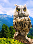 Long-eared Owl in wildness   — Stock Photo