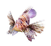 Venomous fish over white background — Stock Photo