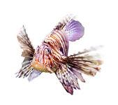 Venomous fish over white background — Stock Photo