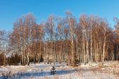 Paesaggio russo con foresta di betulle — Foto Stock