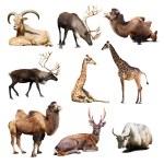 ������, ������: Mammal animals