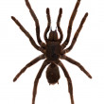 Tarantula Spider. Isolated over white — Stock Photo #46911151