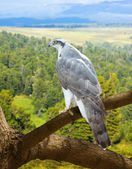Goshawk  in wildness area — Stock Photo