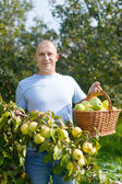 man gathers apples in  garden — Stock Photo