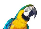 Head of  macaw — Stock Photo