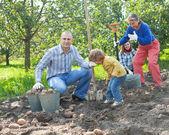 Family harvesting potatoes in  garden — Stock Photo