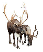 Two caribou — Stock Photo