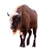 European bison. — Stock Photo
