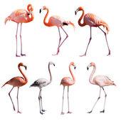 Set of Flamingoes. — 图库照片