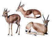 Set of dorcas gazelle — 图库照片