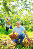 family gathers apples in  garden — Stock Photo