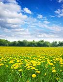 dandelions meadow in  summer day — Stock Photo