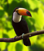 Toco Toucan  (Ramphastos toco)  — Stock Photo