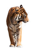 Adult tiger — Stock Photo
