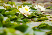 Wite water lilies growing — Stock Photo