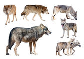 Few wolves — Stock Photo