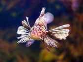 Red lionfish in sea water — Stock Photo