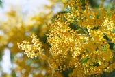 Spring Acacia dealbata   — Zdjęcie stockowe
