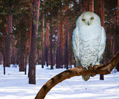 Snowy Owl at pine forest   — Stock Photo