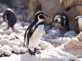 Humboldt penguin standing on stones  — Stock Photo