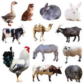 Cock and other farm animals — Stock Photo