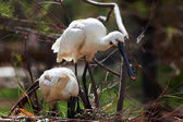 Common Spoonbill   in nest — Stock Photo