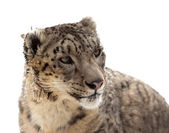 Head of Snow leopard   — Stock Photo