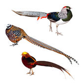Set of Pheasant birds — Stock Photo