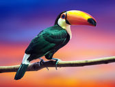 Toco Toucan against sunset sky   — Stock Photo