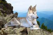 White wolf lays on stone — Stock Photo
