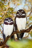 Owls couple  — Stock Photo