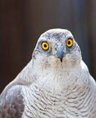 Front view of Hawk  head  — Stock Photo