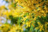 Acacia dealbata — Zdjęcie stockowe