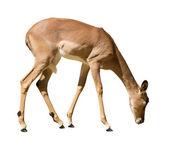 Female impala — Stock Photo