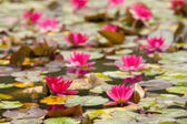 Lily in quiet waters — Stock Photo