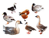 Set of few geese and ducks — Stock Photo