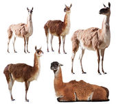 Set of few guanaco — Stock Photo