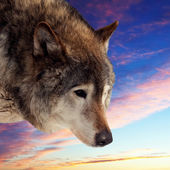 Head of wolf  against sunset   — Stockfoto