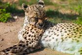 Adult cheetah   — Stock Photo