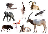 Oryx Scimitar and African animals — Stock Photo