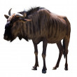 Blue wildebeest — Stock Photo #50725247