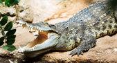 Siamese freshwater crocodile — Stock Photo