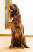 Red  Setter  at home — Stock Photo