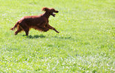 Red Irish Setter running on grass   — Stock Photo
