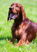 Red Irish Setter lying  at park — Stock Photo