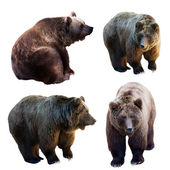 Set of bear — Stock Photo