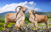 Standing couple of barbary sheeps  in wildness   — Stock Photo