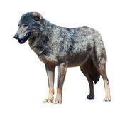 Iberian wolf   — Stock Photo