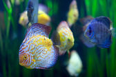 Few discus fish  at water — Stock Photo